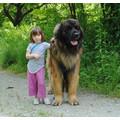 vendo cuccioli leonberger