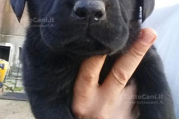 Tuttocaniit Scheda Annuncio Cuccioli Labrador Retriever Con