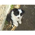 vendo cuccioli bellissimi di border collie
