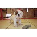 cuccioli di bulldog in vendita
