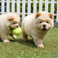 2 Chow Chow cucciola con pedigree