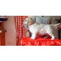 golden retriever cuccioli pedigree ENCI