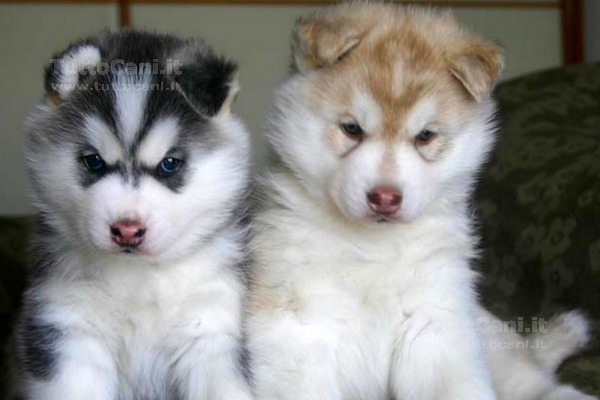 Tuttocaniit Scheda Annuncio Cuccioli Di Siberian Husky Cane In