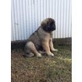 Cuccioli di Leonberger disponibili in vendita